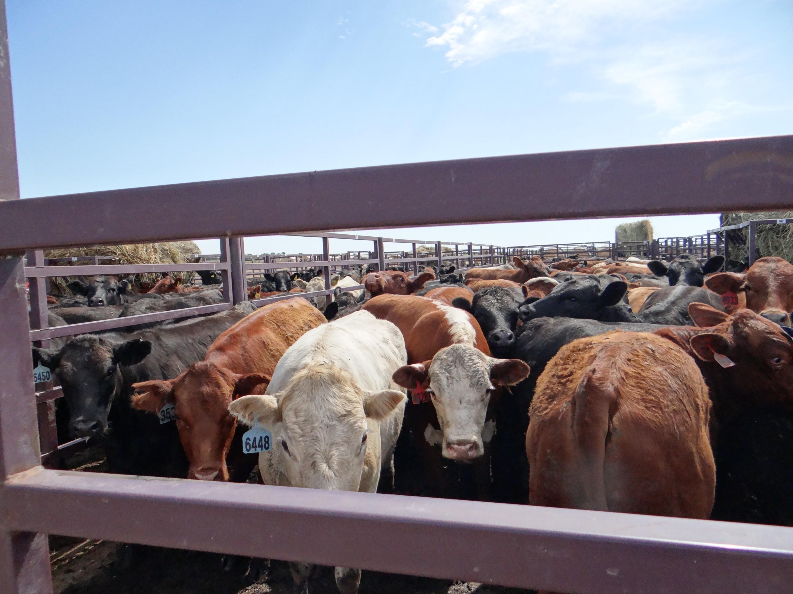 Sioux Falls Regional Livestock | Cattle Auction